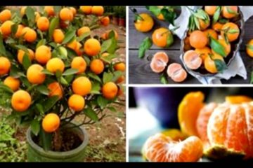 How to Grow Tangerines at Home: You Will Have Hundreds of Them!
