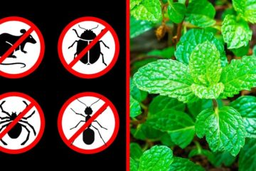 If You Have a Mint Plant in Your House, You Will never See Mice, Spiders or any other Insects!