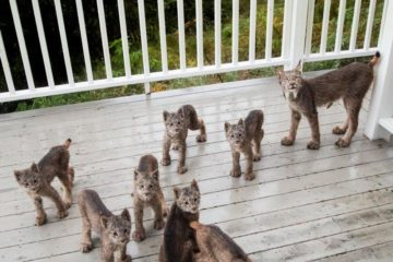 Alaskan Man Wakes Up to Find a Family of Lynx Playing on His Porch