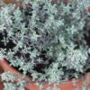 Thyme Can Destroy Strep Throat, Flu Virus & Fights Off Respiratory Infections
