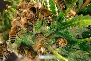 Amazing Story: A Beekeeper Trains His Bees to Make Honey with Cannabis Resin