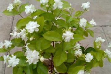 Place the Jasmine Plant in Your Room: It Lowers Anxiety, Panic Attacks & Depression