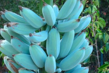 A Magical Fruit: Blue Java Bananas Better Your Digestion & Boost Your Mood