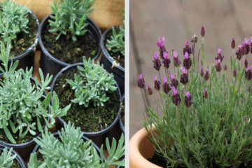 Grow Lavender at Home to Reduce Stress & Anxiety every Time You're at Home