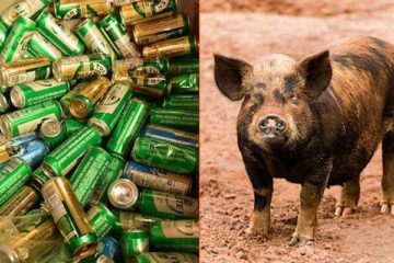 A Boozy Feral Pig Steals Beer, Gets Drunk & Begins a Fight with a Cow!