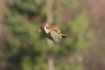 """This Baby Weasel Takes a """"Magic"""" Ride on a Woodpecker's Back: Is this for Real?"""