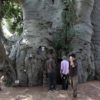 The Tree of Life: a 2000-Year-Old Baobab Tree Found in South Africa