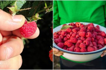 Yummy & Healthy: Learn How to Grow Baskets of Raspberries in Your Own Garden