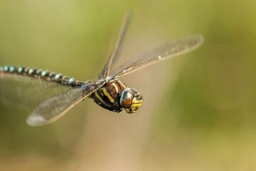 Female Dragonflies Fake Death To Avoid Males Ready To Mate