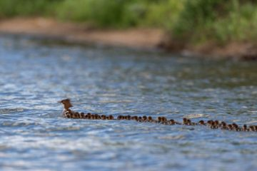 Super Mom: Duck Spotted in a Minnesota Lake with 76 Ducklings in a Row