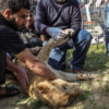 ZOO Brutally Declaws a 14-Month-Old Lioness so Visitors can Play with It
