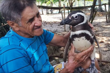 A Penguin Swims 5000 Miles every Year to Reunite with His Savior