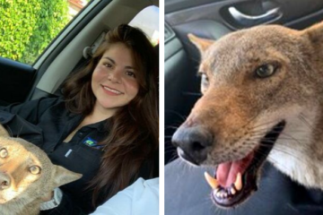 Woman Rescues Wild Coyote Thinking It Was a Dog