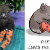 Sad News: Lewis, the Koala whose Rescue Gained World's Attention, Has Died
