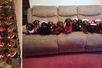 Man Successfully Lines Up His 17 Dachshunds Dressed in Christmas Sweaters to Pose for a Photo