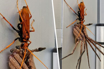 Everything Is Possible in Australia: Giant Spider Carries Dying Huntsman Spider