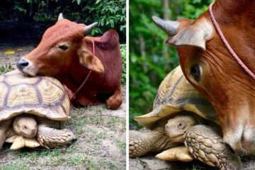 Tortoise & Calf without Legs Become Best Friends Who Do everything Together