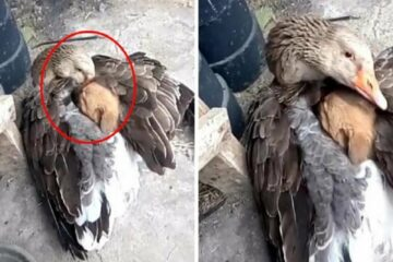 Kindness Knows no Boundaries: Goose Warms Up Lost & Shivering Puppy with Its Wings