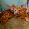 Woman Leaves Back Door Open During a Storm, Later Finds 3 Deer Huddled in the House