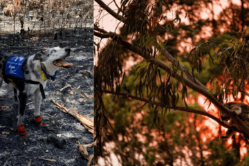 Bear the Dog Is Helping Save Injured Koalas in the Australian Fires