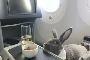 This Bunny Travels in First Class & Gets Ice Cream Service & Unlimited Nuts