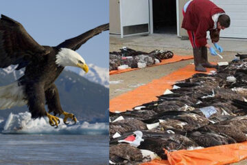 Iconic Bald Eagles Continue Dying because of Lead Poisoning, Why Is no One Talking about this Problem?
