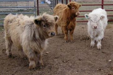 Can They Get any Cuter? Now, You Can Have a Miniature Cow as a Pet!