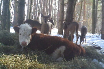 After this Baby Cow Escaped a Slaughterhouse, It Was 'Adopted' by a Family of Deer in the Forest
