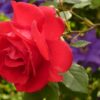 The Amazing Healing Abilities of Rose Petals