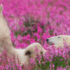 This Canadian Photographer Caught the most Magical Moment: Polar Bears Playing in Fields of Flowers