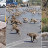 While People Are in Quarantines, Monkeys Are Strolling the Streets of Thailand & Deer Are Spotted on Japanese Streets