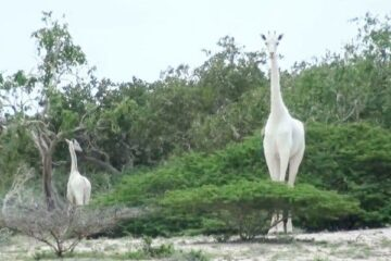 Two Rare White Giraffes in Kenya Killed by Poachers