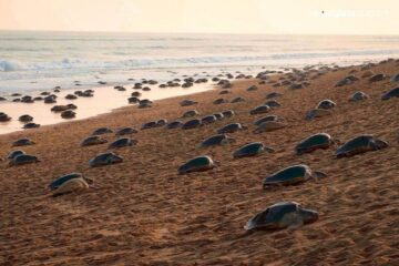 While Humans Are Locked inside, Thousands of Endangered Turtles Return to Odisha Beach to Lay Eggs