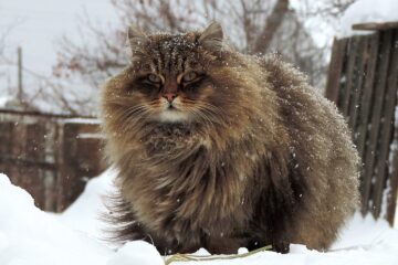 Norwegian Forest Cats, the Pets of the Vikings