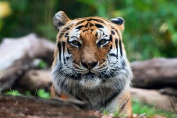 Tiger Tests Positive for COVID-19 at New York ZOO-First Case of Its Kind in US
