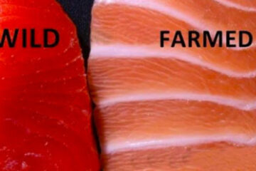 According to Science, Farmed Salmon Is One of the most Toxic Foods in the World