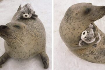 Adorable Seal Can't Stop Cuddling a Plush Toy that's Its Mini-Me