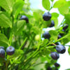 Lower Blood Pressure; Protect the Brain & Balance the Blood Sugar with Bilberries