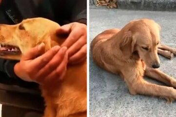 Loyal Golden Retriever Spent 2 Weeks Walking 62 Miles to Find Her Owners