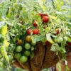 The Secrets of Growing Tomatoes in Hanging Baskets Successfully