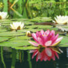 The Challenging Brainteaser: How Fast Do the Lily Pads Grow?