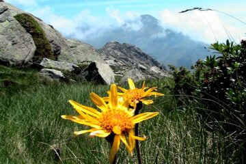 Arnica Essential Oil: Relieves Muscle Ache & Helps with Hair Loss
