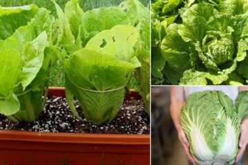 Fresh Salad always: How to Grow Your Chinese Cabbage in a Pot