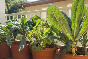 How to Grow Healthy Kale in a Pot at Home