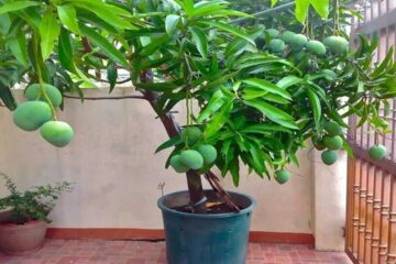 How to easily Grow a Mango Tree in a Pot