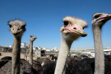 Can You Find the Umbrella among the Ostriches?