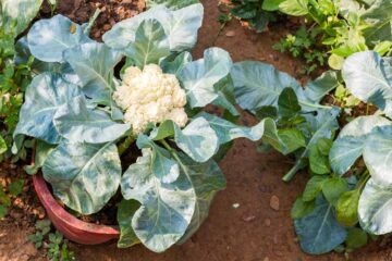 How to Grow Delicious Cauliflower in Pots at Home