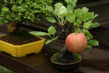 How to Easily Grow Yummy Apples in Pots at Home