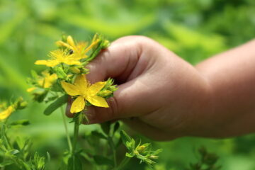 How to Grow St John's Wort at Home