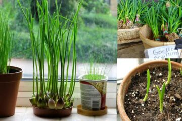 How to Grow One of the Healthiest Foods in the World (Garlic) in Your Home